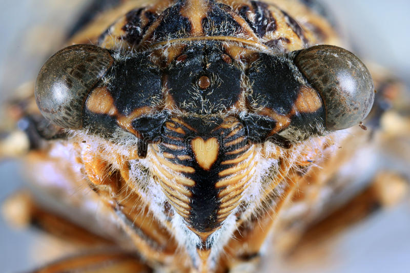 Cicada Head Close Up royalty free stock images