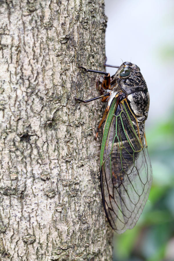 Download Cicada holding on a tree stock photo. Image of japanese - 43071656