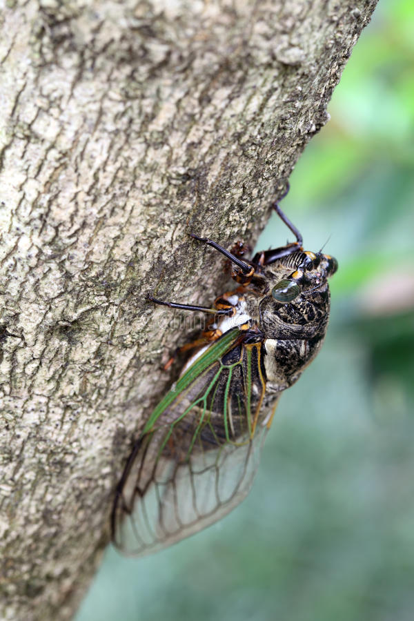 Download Cicada holding on a tree stock photo. Image of closeup - 43071664