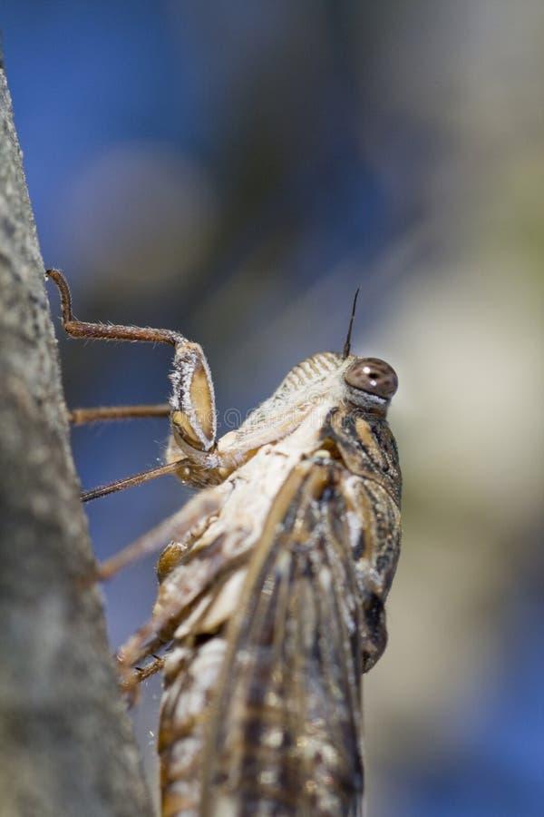 Download Cicada insect stock photo. Image of fauna, barbara, brown - 12382988