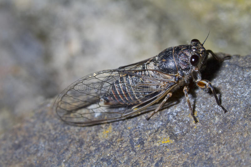 Download Cicada insect stock photo. Image of outdoor, chirr, wilderness - 20872610