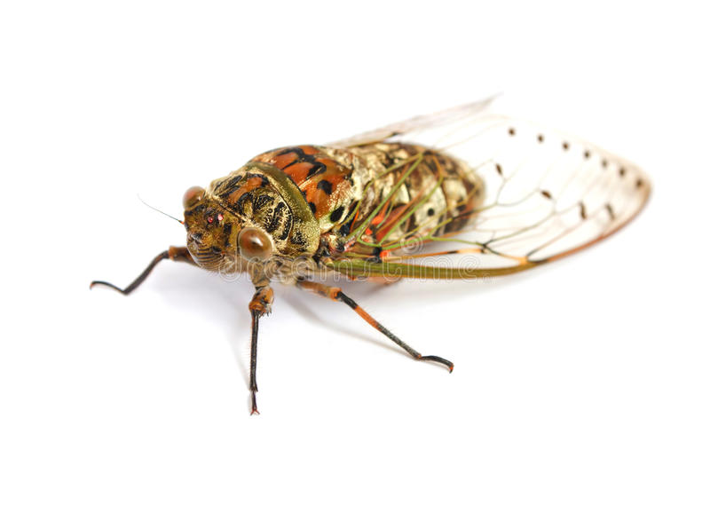Cicada insect royalty free stock image