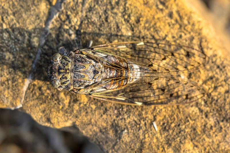Cicada insect camouflage stock photography