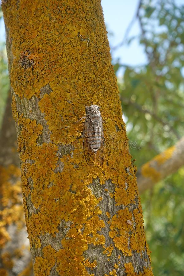 Cicada insect on tree trunk royalty free stock photo