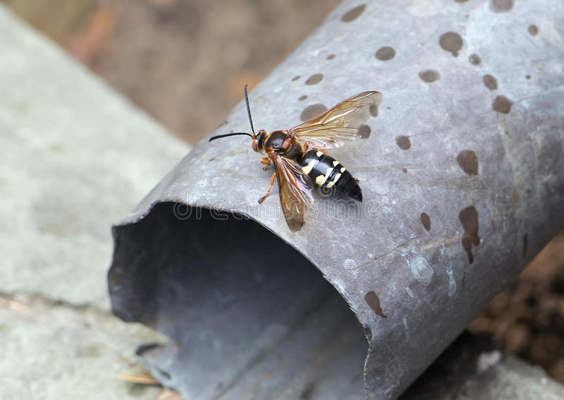Cicada killer wasp. Pictured is a Cicada killer wasp. It is a large solitary wasp that burrows into the ground to form a nest. It paralyzes a cicada with it`s stock photo