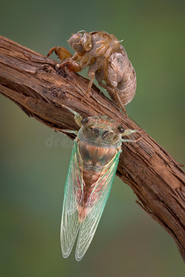 Free Cicada Life Stages Stock Photos - 15667523