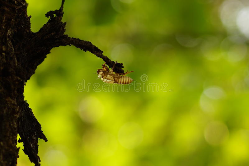 Cicada. Moult of cicada occurring chiefly in warm countries stock photos