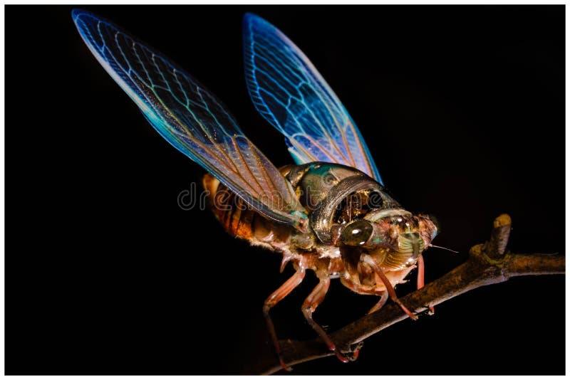 Cicada stock photo
