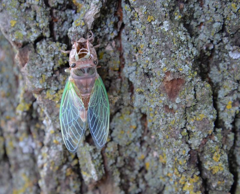 Cicada newly birthed, emerged from skin, shell stock photos