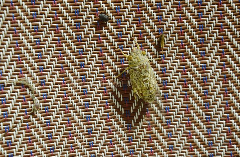 Cicada seek for mate in summer night hanging on bamboo mat royalty free stock image