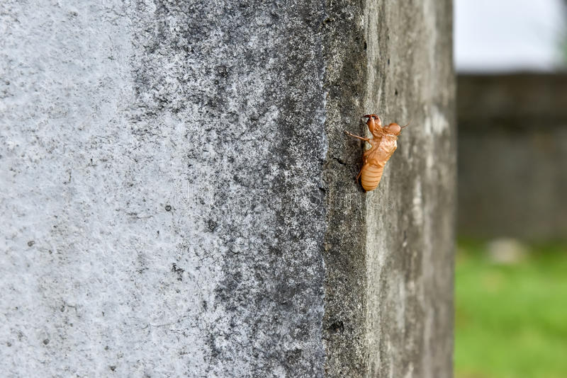 Cicada shell on the concrete column. In a natural grip stock image