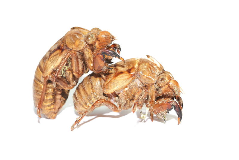 Cicada shells royalty free stock image