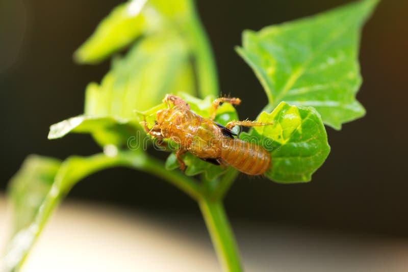 Download Cicada slough stock photo. Image of entomology, slough - 25035628