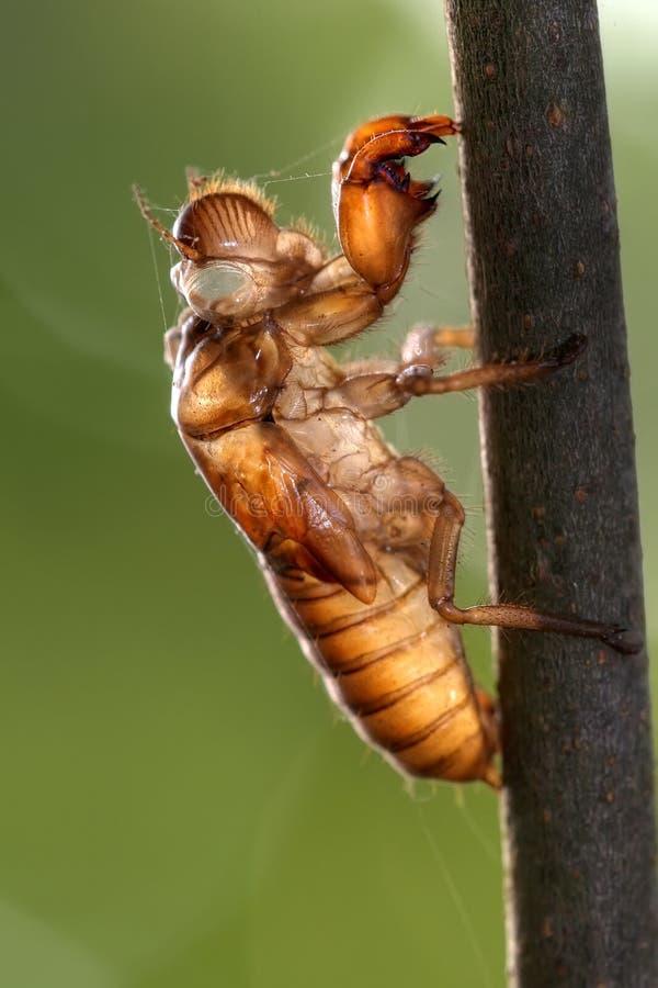 Cicada slough stock photos