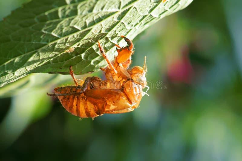 Cicada slough στοκ εικόνα