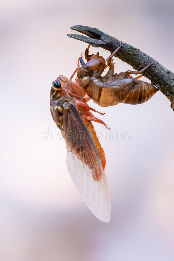 Cicada sloughing off its gold shell with blurred background royalty free stock photography