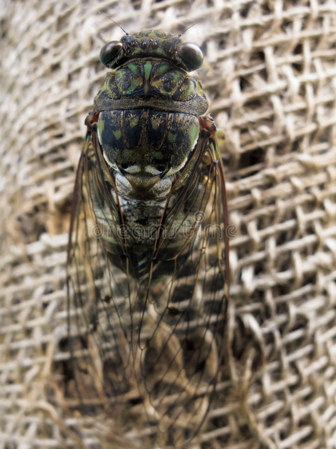 Cicada on a string web royalty free stock image