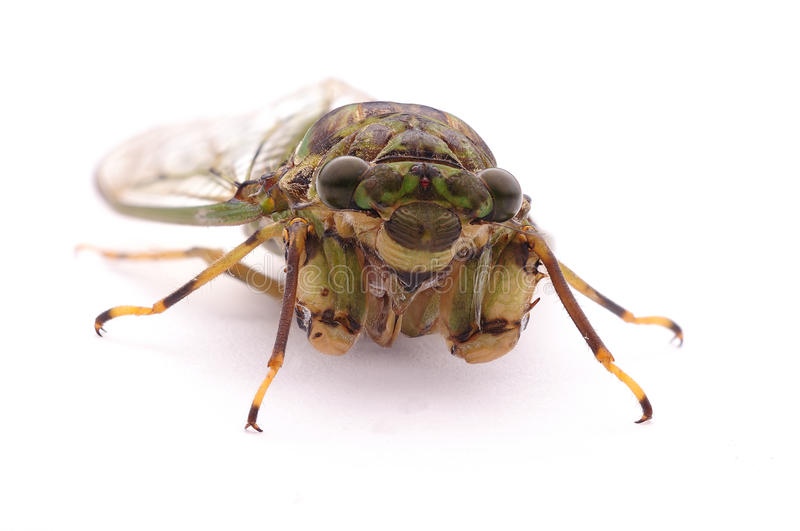 A cicada with white wings royalty free stock images