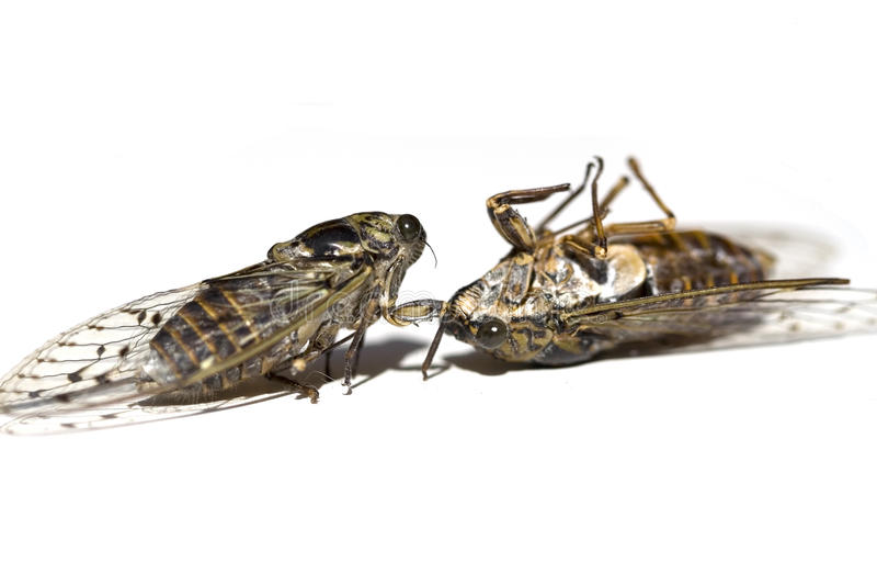Cicadas stock photos