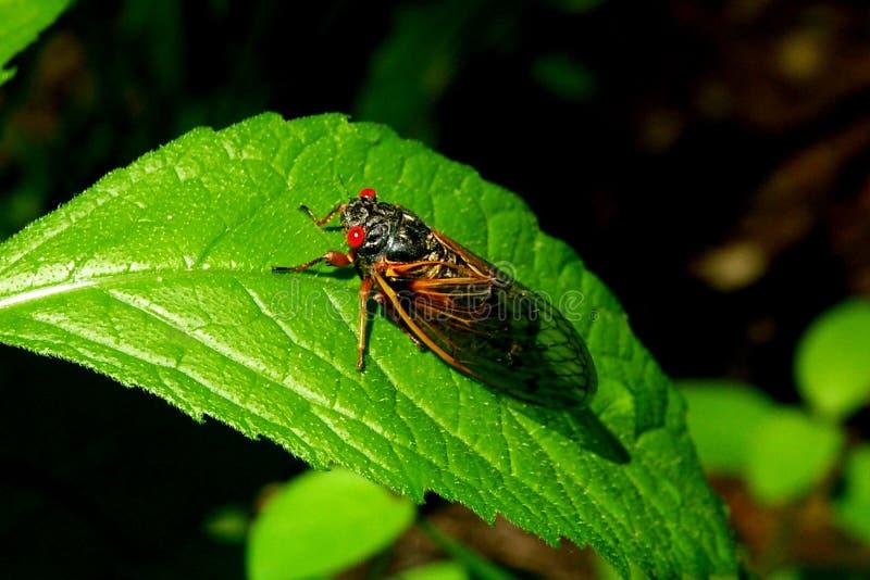 Cicadas B royalty free stock photography