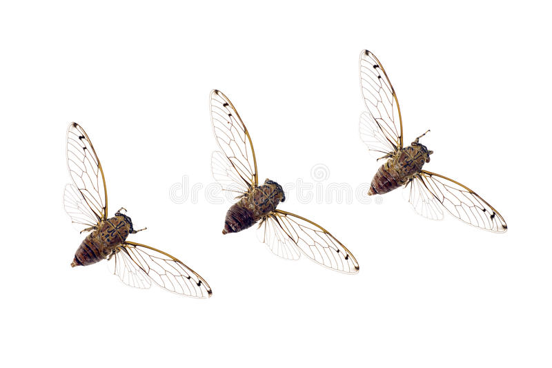 Cicadas in a row royalty free stock photos