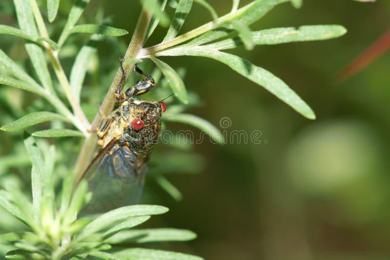 Cicade royalty-vrije stock fotografie