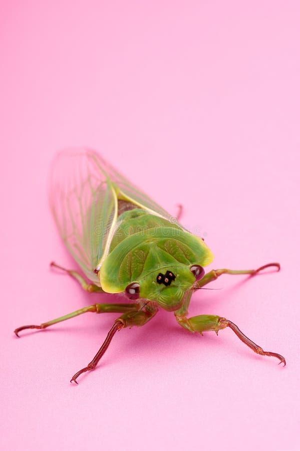 Cicade royalty-vrije stock foto