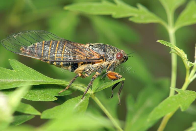 cicade stock foto's