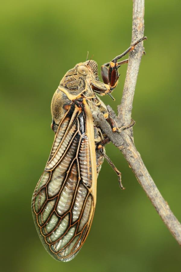 cicade stock foto