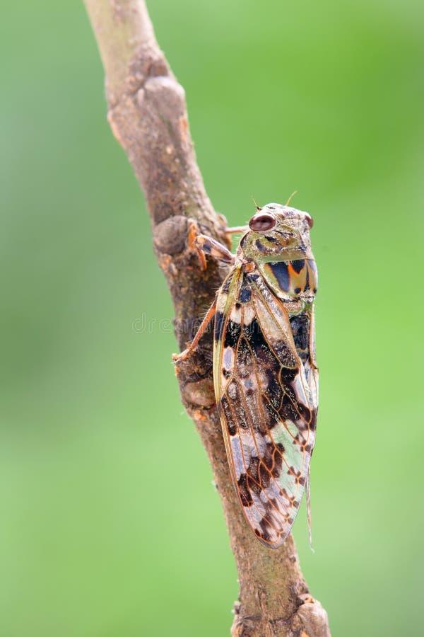 Cicade stock afbeeldingen
