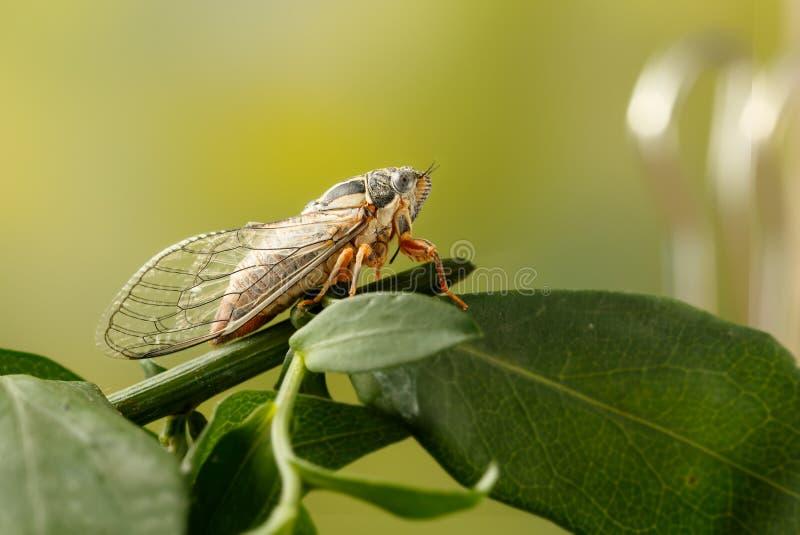 Cicade Euryphara, als Europese Cicade wordt bekend, die op een takje met een groene achtergrond zitten die stock afbeelding