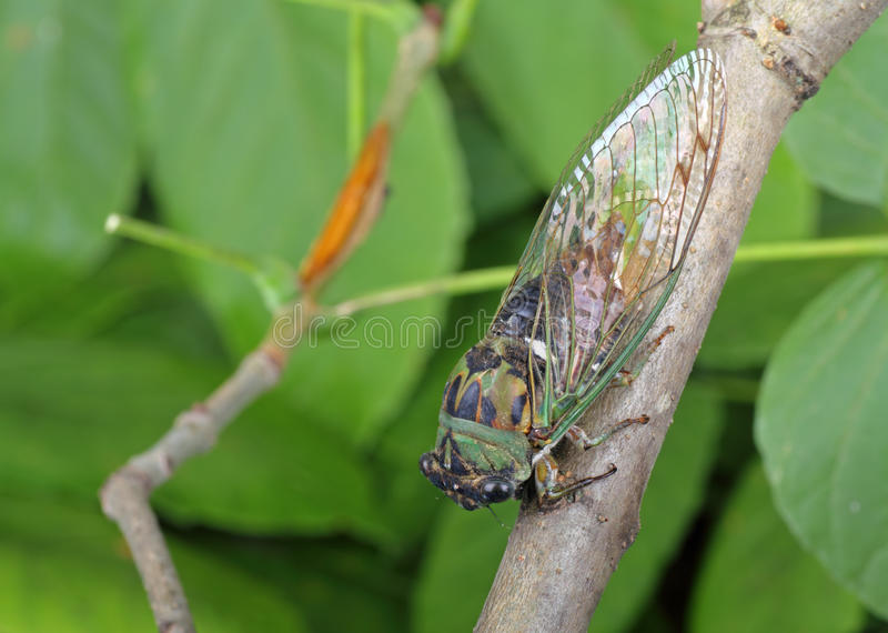 Cicade, linnei Tibicen royalty-vrije stock afbeelding