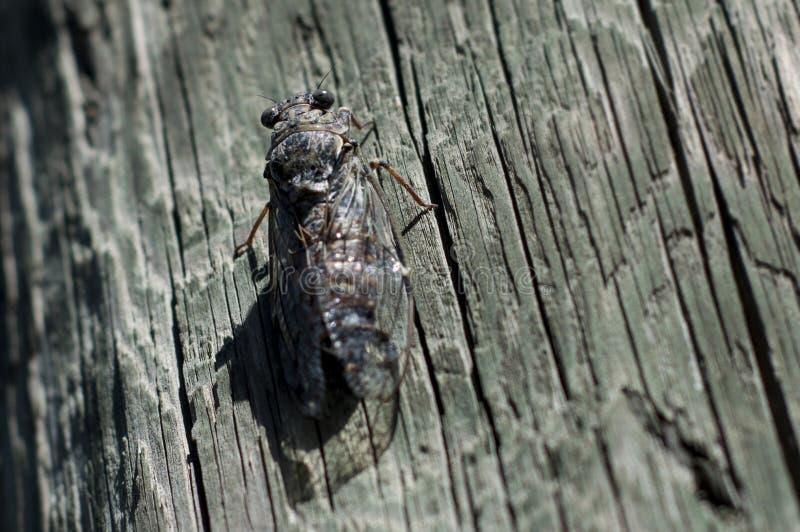 Cicade op een houten pool in Cassissen, Franse Riviera, tijdens de zomer stock fotografie