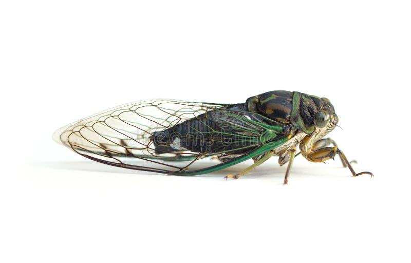 Cicade op een witte achtergrond stock foto's