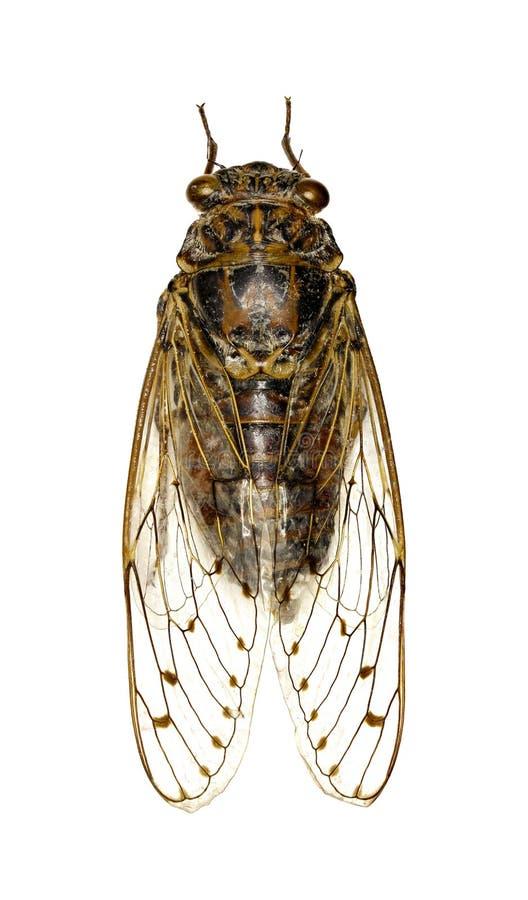 Cicade op witte achtergrond stock foto's
