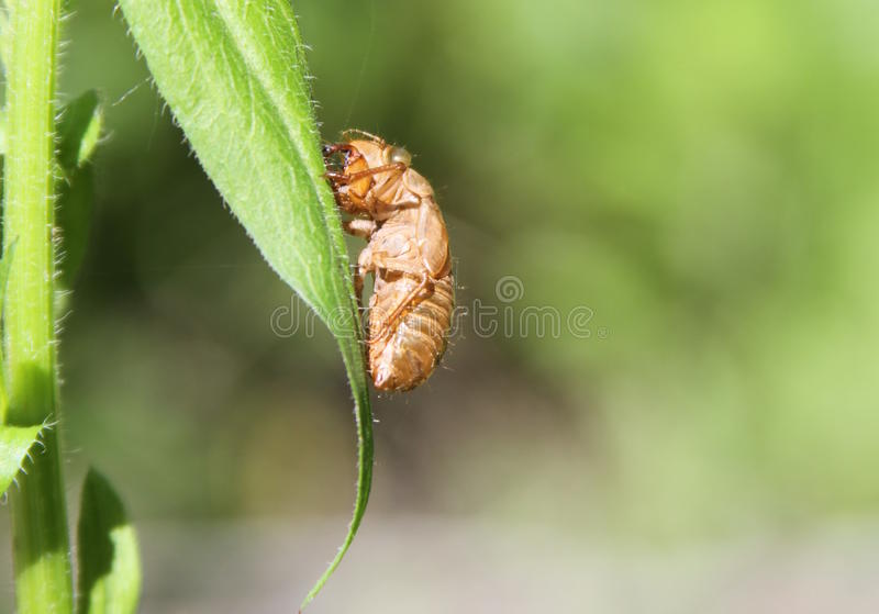 Cicade Shell op Blad royalty-vrije stock foto's