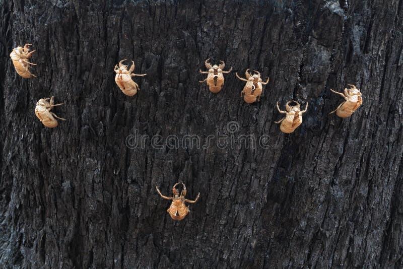 Cicade skal på trädskäll royaltyfri bild