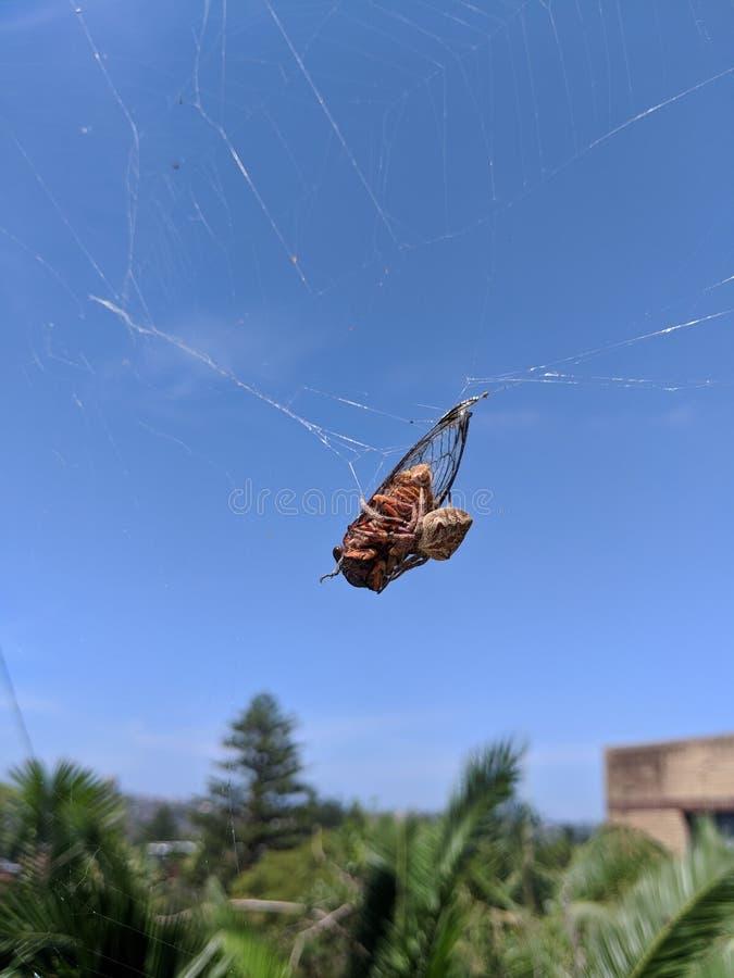 Cicade in spiderweb in Australië stock fotografie