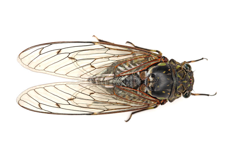 Cicadeinsect stock afbeelding