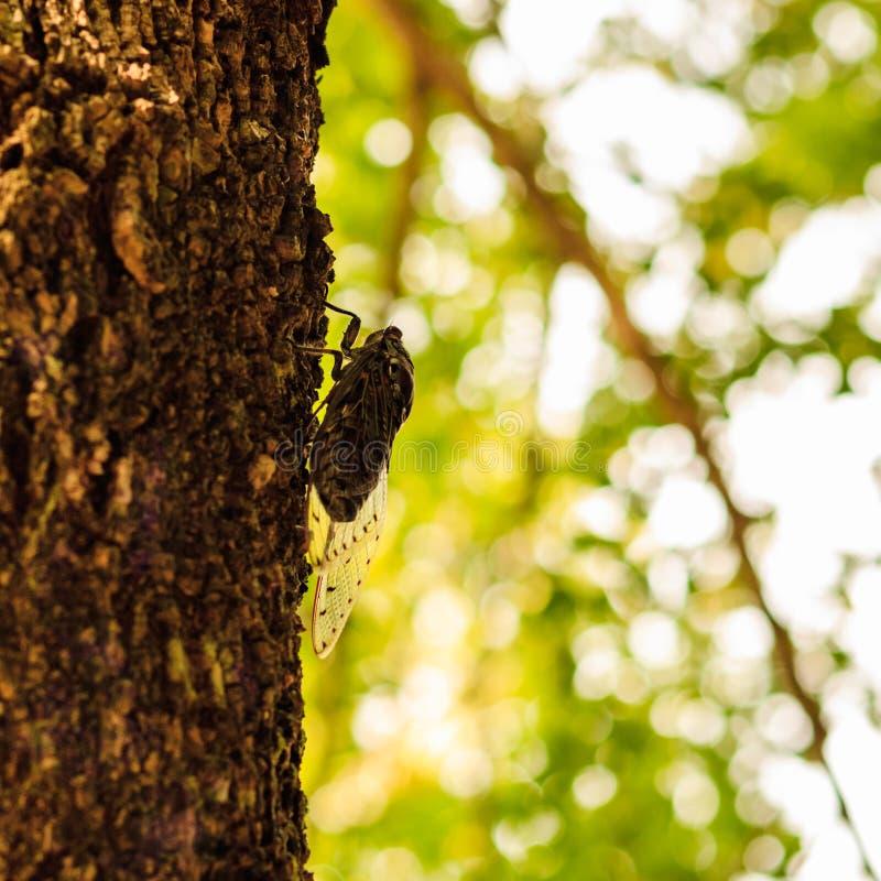 Cicadeinsect op de boom stock afbeelding