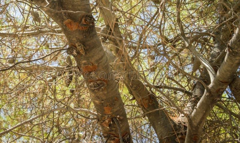 cicadeinsect op pijnboom royalty-vrije stock foto's