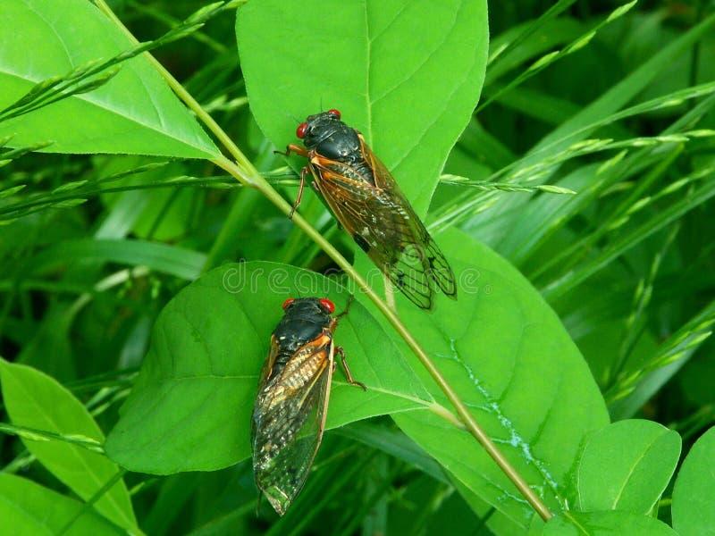 Cicaden A royalty-vrije stock foto's