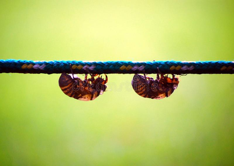 Cicaden royalty-vrije stock foto's