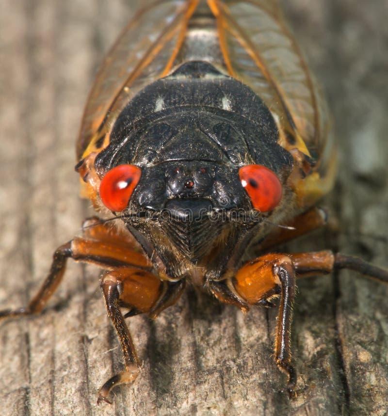 Cicaden stock foto