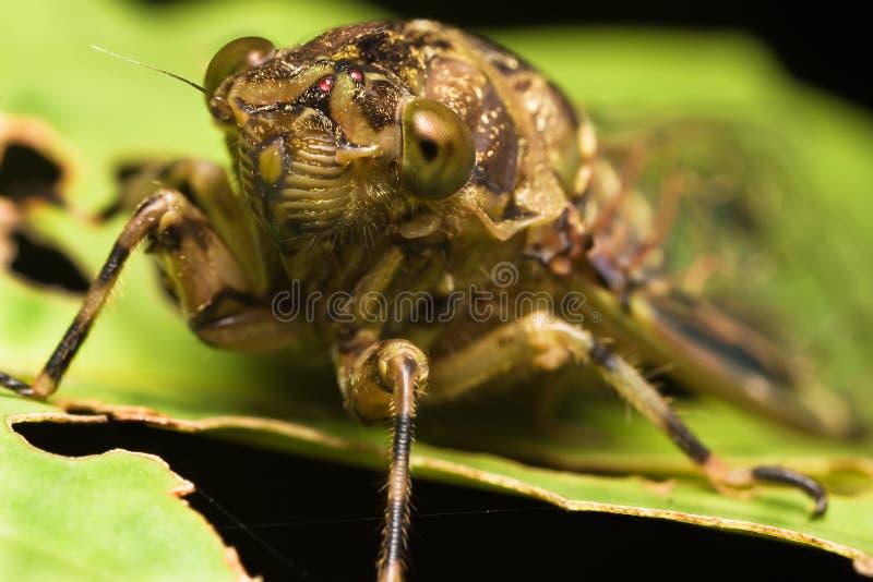 Cicaden stock foto's