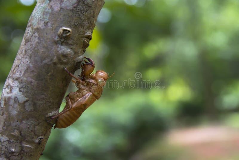 Cicaden Softshell op houten boomstam royalty-vrije stock afbeeldingen