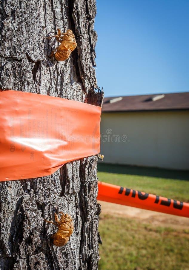 Cicaden Twee stock afbeelding