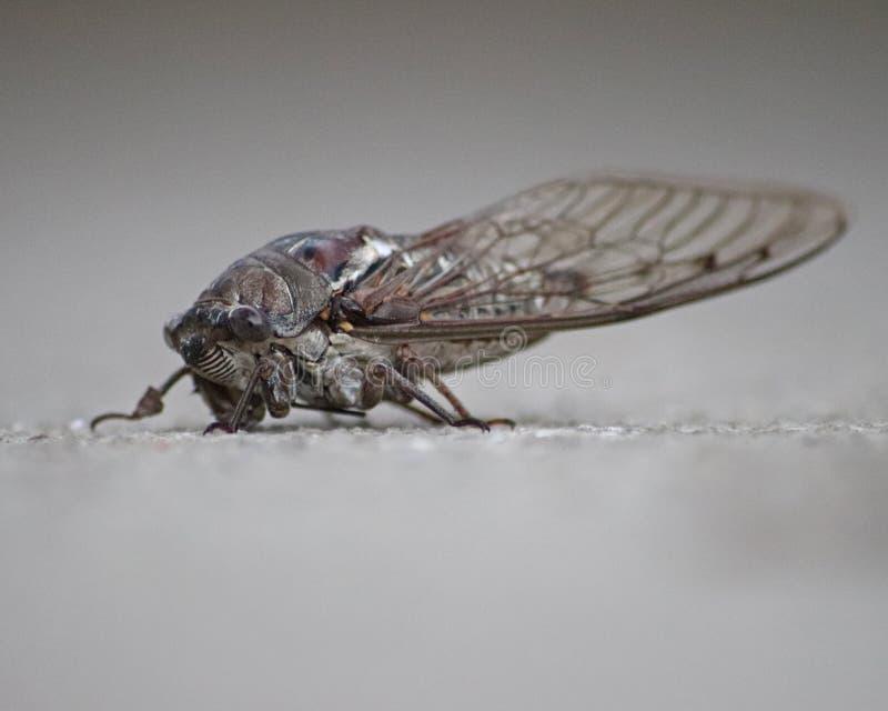 Cicadoidea is een grote Cicade stock fotografie