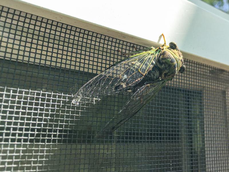Cicadoidea-Zikade auf einem Fenster an einem sonnigen Sommertag lizenzfreie stockfotografie