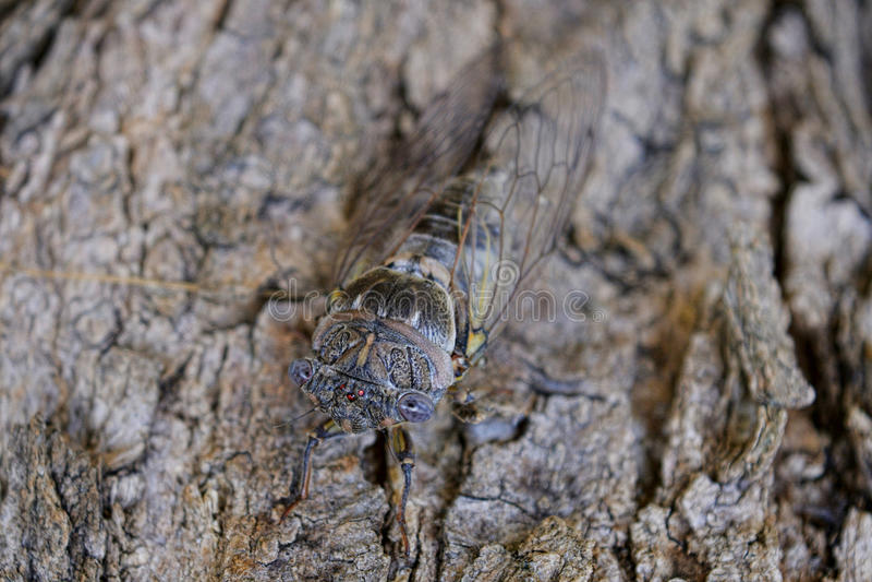 cicala immagine stock